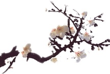 Apricot blossoms on snow - 설중매