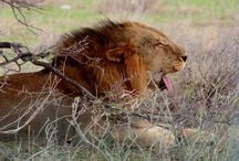 Big Cats of Etosha NP / Impressive, majestic, royal and elusive - lions, leopards and cheetahs of Etosha NP.
