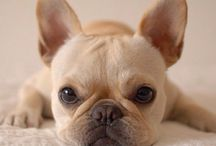 cream french bulldogs