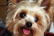 Yorkies! / My love of this sweet little breed knows no bounds. / by Crystal Marles-Tracey
