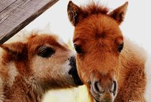 "Dahamas Minishetland Ponies Pictures / Pictures of ponies from our stud ""Dahamas - Miniature Shetland Ponies"""