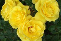 My favorite scented roses / Roses