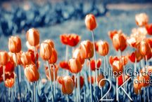 Flowers with Indigo Background / Stylised photos and video collection with vignetting of a  Flowers on a indigo background.