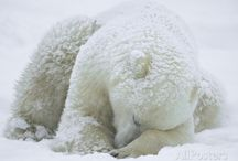 Polar Bear: Images Pictures and Photography / The most beautiful animal which lives in the coldest areas is Polar Bear; the pictures of polar bear are so cute in appearance and will beautify the walls in displaying posters or figurines.