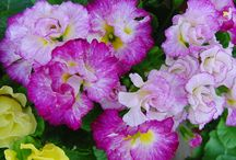 African Violets - Others / by Kim Koberstein