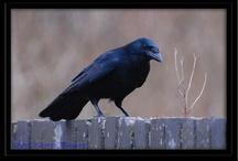Ravens / by Karen McCloud