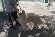 Biggish Doggies - Oso