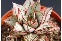 Echeveria / Succulent plants are available for everyone!!!