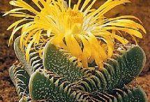Я полюбила кактусы