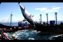 Ловля неводом тунца гиганта. Морская рыбалка.