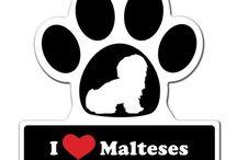 Câini maltezi