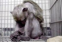 Animal Research is TORTURE / Please learn about vivisection (live animal research).  Not only is it unnecessary, it's completely inaccurate.  Go here: http://lcanimal.org/index.php/campaigns/class-b-dealers-and-pet-theft/vivisectionanimals-in-research / by Last Chance for Animals