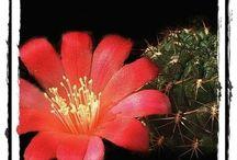 web cacti / cactos crasas suculenta