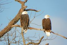 Bald Eagles at Innsbrook / Many bald eagles winter around Innsbrook's 100+ lakes.