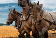 Horse - Сладкие тяжики / Тяжеловозные породы лошадей всех стран и народов