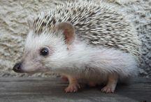 Sünik/Urchins, Hedgehogs