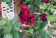 дача - розы