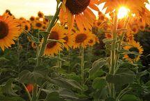 Sunflowers / by Meghan Elizabeth