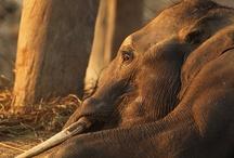 Refugee Elephants