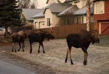 Urban Moose / Anchorage, AK resident moose
