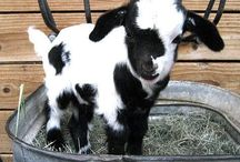 Goats are Great