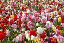 Hollannin keväinen kukkaloisto / Vierailimme pari viikkoa sitten inspiroivassa Hollannissa. Kasvattajien ja näyttöpuutarhojen lisäksi vietimme päivän myös Keukenhofissa. Keukenhof on maailmankuulu tulppaaniparatiisi, joka on ehdottomasti näkemisen ja kokemisen arvoinen! Myös muut ihanat kevätkukkijat, kuten narsissit ja helmililjat, olivat siellä loistavasti edustettuina. Tässä muutama otos valtavasta kuvamerestä.