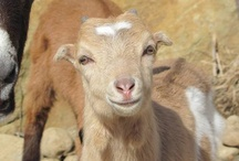 Goat ideas / by Tracy Wilbur