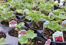Just Add Geraniums / Geraniums are very popular flowering plants. They are commonly used as bedding plants, in pots and hanging baskets. They also make great houseplants if kept in a sunny location. Keeping the soil moist will prevent the geraniums from wilting.