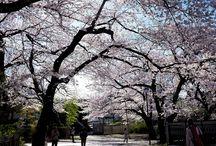 2015年桜 / 2015年の桜