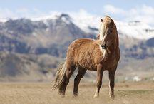 Icelandic horses - ijslandse paarden