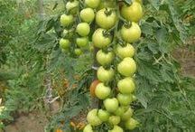 tea fertile soil garden