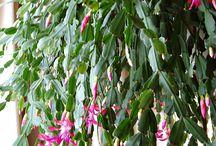 Beautiful Christmas Cactus