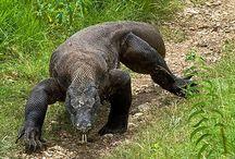 ΜΕΓΑΛΕΣ ΣΑΒΡΕΣ: Δράκος  του Κομόντο (Komodo dragon) ,water monitor (Varanus Salvator) ,Κ.Λ.Π. / Ο Δράκος του Κομόντο κατοικεί στα νησιά γύρω από  την Ινδονησία, και είναι η μεγαλύτερη ζωντανή σαύρα του κόσμου, αφού μερικές φορές μπορεί να φτάσει τα 3 μέτρα σε μήκος, ενώ είναι ιδιαίτερα επικίνδυνος, καθώς είναι γνωστό ότι επιτίθεται ... Βικιπαίδεια.  Οι water monitor (Οθόνη νερό) είναι η δεύτερη μεγαλύτερη σαύρα σε βάρους στον κόσμο. Τα ενήλικα αρσενικά μπορούν να φθάσουν  στα εννέα πόδια και ζυγίζουν  £ 150. Ενώ τα θηλυκά Οθόνες νερού είναι πολύ μικρότερα φθάνοντας 4-5 πόδια ως ενήλικες.