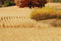 cornfields-pole,pole a políčka