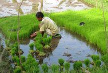 Bali rice fields. Pola ryżowe - tarasy ryżowe na Bali.Visit with Indo-Explorer / Bali rice fields. Pola ryżowe - tarasy ryżowe na Bali