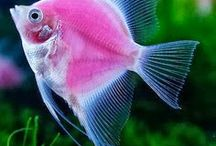 Pet Fish / Pins about aquarium fish and fish tanks.