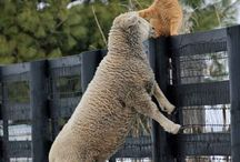 kitty friend with sheep