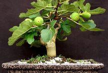 Bonsaibäumchen-sehen sehr gut aus / Aufzucht, Pflege und viele lange Jahre dazwischen...