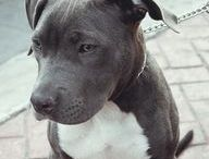 for the Love of Pit Bulls / by Kayte Akkerman