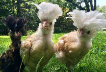 Weird chickens