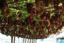 ovocne stromy