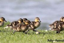 Baby duck / Baby duck pictures