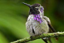 kolibritattoo