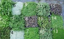 native ground cover plants