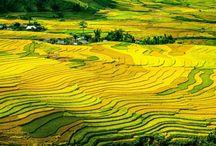 Terase cultivate cu orez