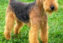 lakelend terrier