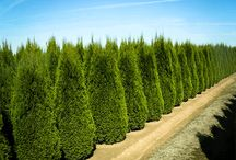 Privacy Trees / Fast growing privacy trees to complete your landscape.