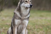 saarloos wolfhond/ Dutch
