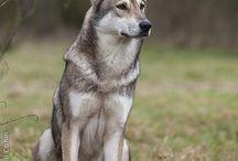 saarloos wolfhond/ Dutch