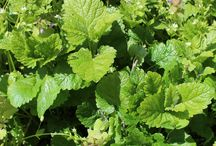 lemon balm recipes